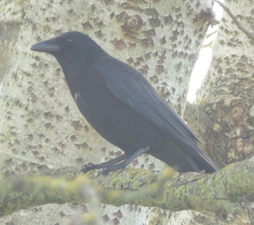 crow